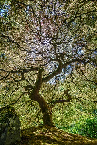 "Natalia Polyakova photography ""Tall Japanese Maple"""